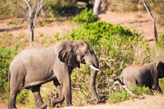 elephant climbing hill - stock photo