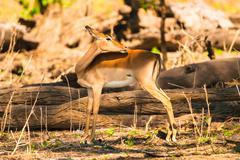 Impala ewe Stock Photos