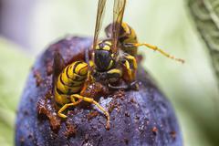 Wasps eating a plum Stock Photos