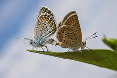 Stock Photo of Common blue butterflies