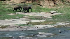 Asian elephants Stock Footage