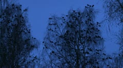 Flock Rook, Corvus frugilegus in a forest during winter Stock Footage