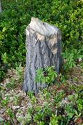 stump of a tree gnawed by a beaver - stock photo