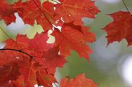 Stock Photo of vibrant red maple leaves