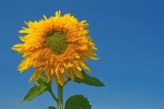 Sunflower over the blue sky - stock photo