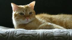 Red Tabby Cat Relaxing Stock Footage