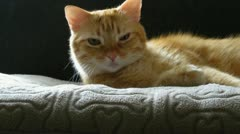 Red Tabby Cat Relaxing 2 Stock Footage