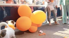 Dog popping balloons Stock Footage