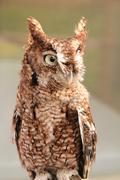 Stock Photo of Owl