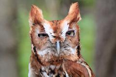 Hoot Owl - stock photo