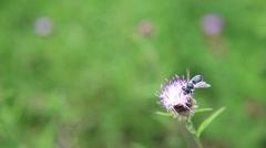 Honeybee and flowers Stock Footage