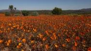 Orange Namaqualand daisies Stock Footage
