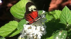 Postman butterfly in the wild Stock Footage