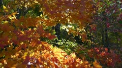 Amid Nature - Autumn Sunlight Illuminates Golden Fall Sycamore Leaves Stock Footage
