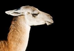 llama - stock photo