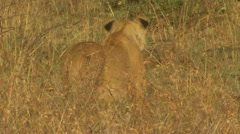 Standing lion seen from behind in high grass Stock Footage