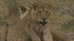 Young lions lying in grass, panting - stock footage