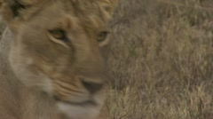 Close-up young lion, branch Stock Footage
