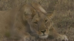 Lion lying in grass, yawing Stock Footage