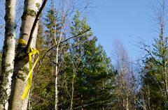 chosen birch - stock photo