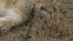 Close-up of lion resting Stock Footage