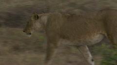Lion walking, peeing Stock Footage