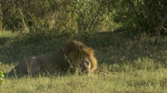 Male lion, in grass, close-up, peeing Stock Footage