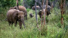 Asian elephants - stock footage