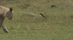 Mating and peeing lions Stock Footage