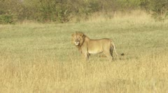 Male lion walking, running, eating cadaver - stock footage