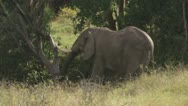Elephant eating shot from behind Stock Footage