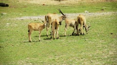 Complete Family of Cape Eland forming a small herd ! Stock Footage