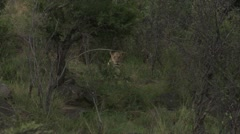 Lions in the bush shot from far away - stock footage