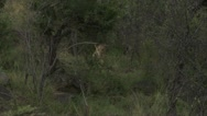 Lions in the bush shot from far away Stock Footage