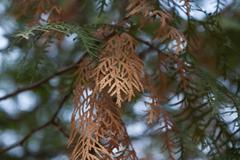 Dry pine tree branch - stock photo
