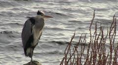 Heron Stock Footage