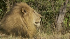 Male lions head Stock Footage