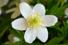 wood anemone - stock photo
