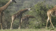 Many giraffes walking and eating Stock Footage