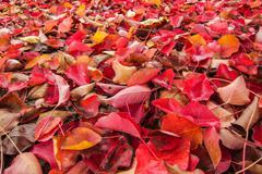 Autumn Leaves 04 - stock photo