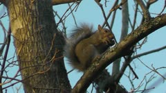 Amid Nature - Little Grey Squirrel Eats A Nut on a Branch - stock footage