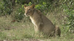 Young lion sitting, walking Stock Footage