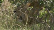 Lion lying in bush, elephants walking Stock Footage