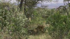 Elephant walking, lion in bush Stock Footage