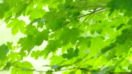 Stock Video Footage of Fresh green leaves blown by the wind