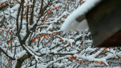 Sea buckthorn and icicles - stock footage