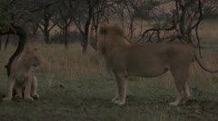 Young lions submissive affectionate towards adult lion - stock footage