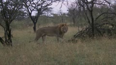 Young lions playing and peeing Stock Footage