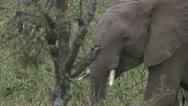 Elephants eating and walking Stock Footage