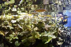 Lily pads in cenote Stock Photos